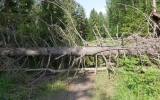 Nedfallet träd tvärs över banvallen mellan Stråkvärn och Tunnbacken 2016-06-25